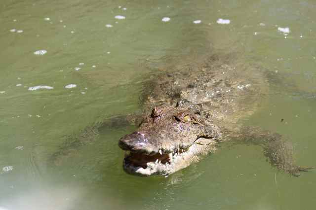croc-in-water